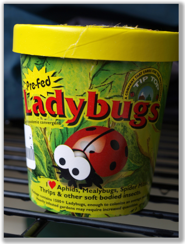 Photograph of a container of LadyBugs to purchase