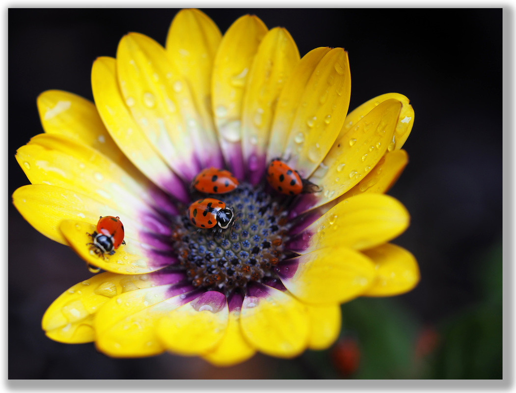 Photograph of several ladybugs on a flower