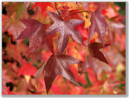 Close-up photograph of red Autumn leaves