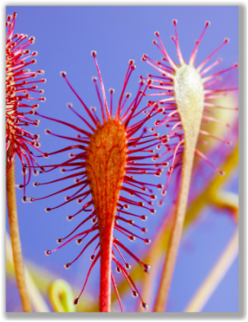 Macro photograph of a sundew plant