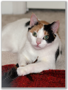 Photograph of a calico cat