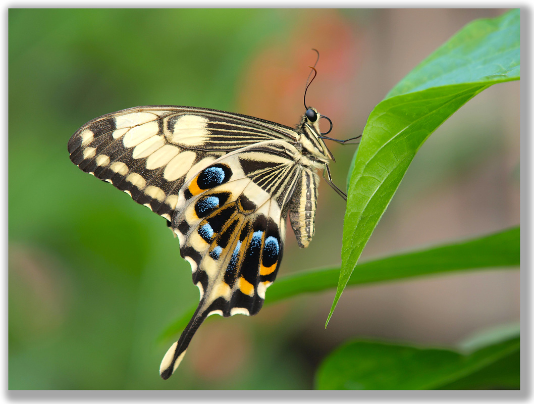Photograph of Swallowtail Butterfly