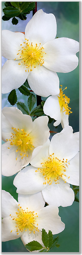 Photograph of Simple Rose flowers