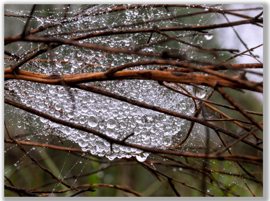 Photograph of water drops caught in a spider web