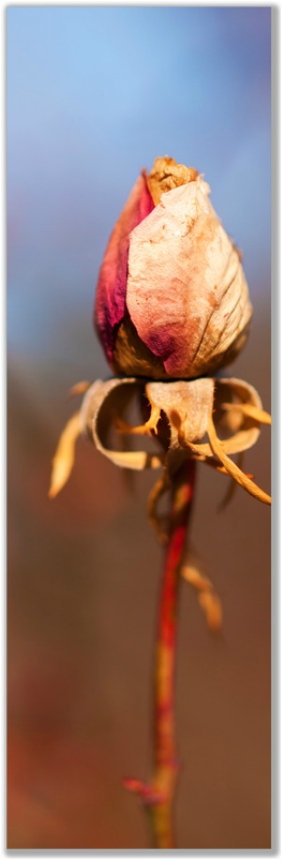 Tall photograph of long stem rosebud dried up for winter