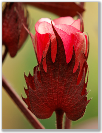 Photograph of red cotton flower