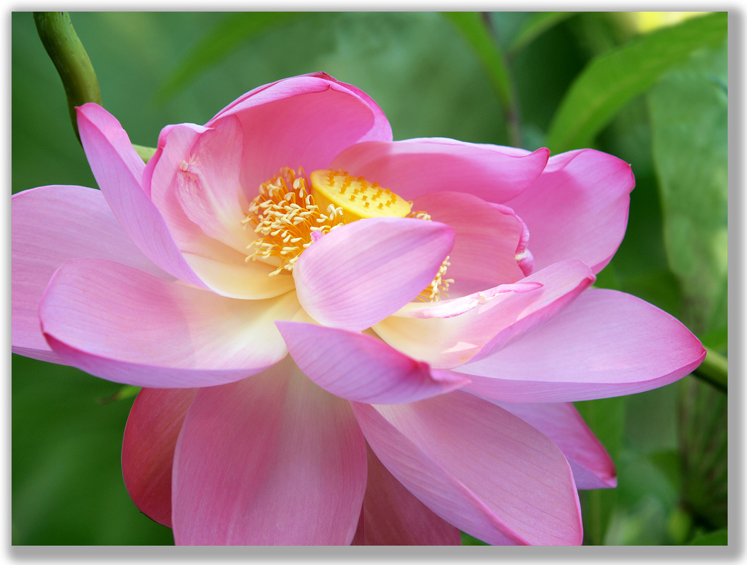 Photograph of Lotus Flower with its petals blowing