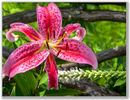 Photograph of a Daylily on a rustic fence