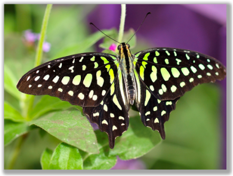 Photograph of a Green Tailed Jay butterfly