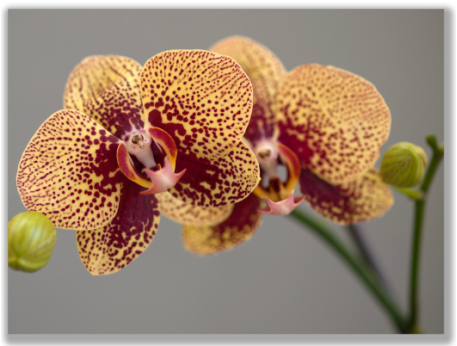 Photograph of a Phalaenopsis orchid