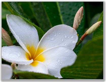 Photograph of white Plumeria flower and two buds
