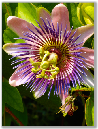 Photograph of a Passion Flower