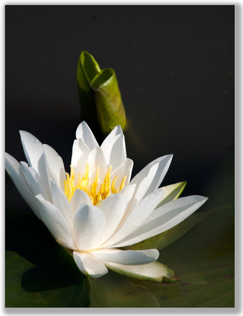 Photograph of white water lily with curled pad leaf behind
