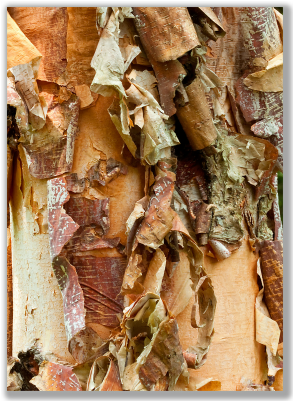 Photograph of pealing bark of River Birch