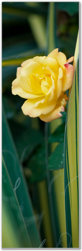 Single long photograph of yellow rose among yucca leaves