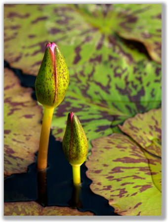 Photograph of Foxfire Tropical Waterlily buds