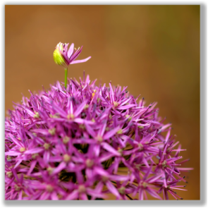Photograph of Purple Allium flower