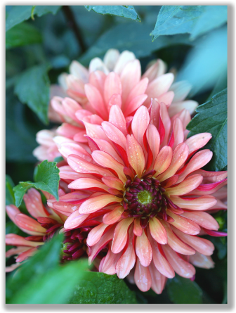 Photograph of Dahlia Flower