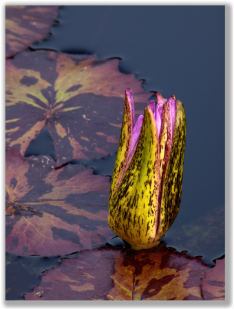 Photograph of a Foxfire Tropical Waterlily bud