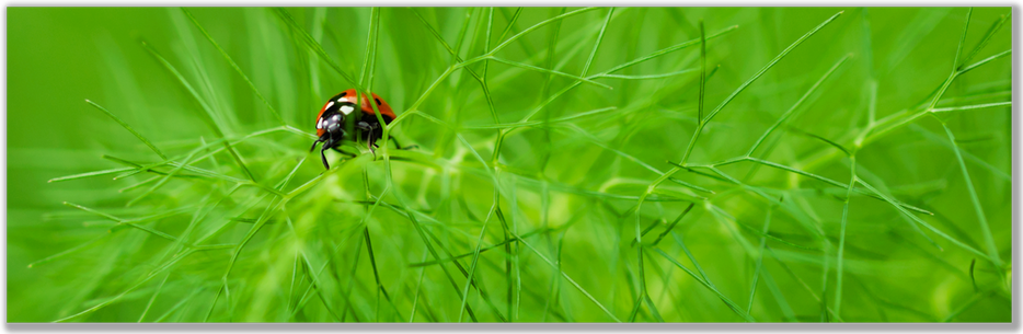 photograph of a ladybug on love in a mist plant