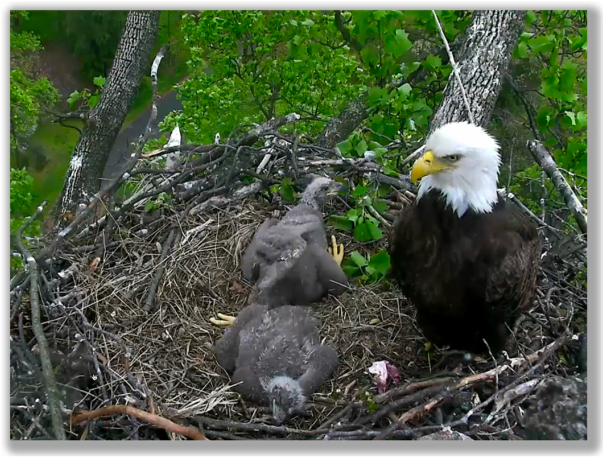 Screen shot of The Eagle Cam at our National Arboretum in DC