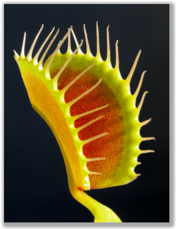 Photograph of Venus Fly Trap
