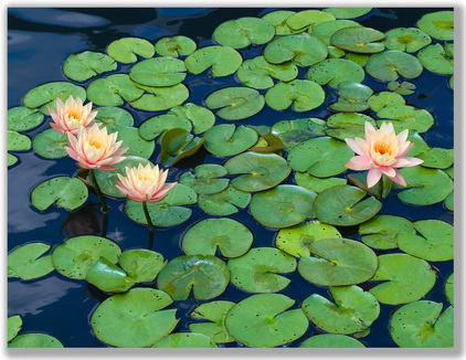 Photograph of water lily flowers in a sea of pads