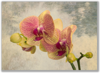 Photo of an Phalaenopsis orchid