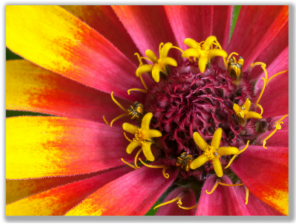 Macro Photograph of Zinnia flower