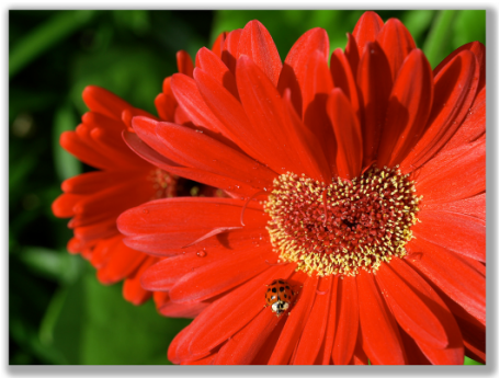 Photograph of red daisy with a ladybug on it