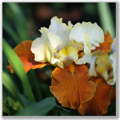 Photograph of a butterscotch-colored Iris  flower
