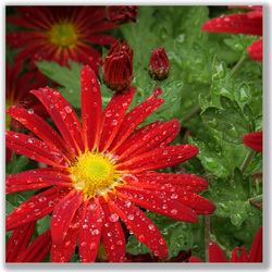 Photograph of a red Daisy Chrysanthemum