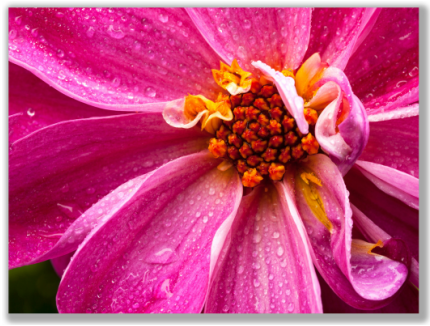 Close-Up Photograph of a Dahlia flower