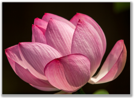 Photograph of a Lotus Flower