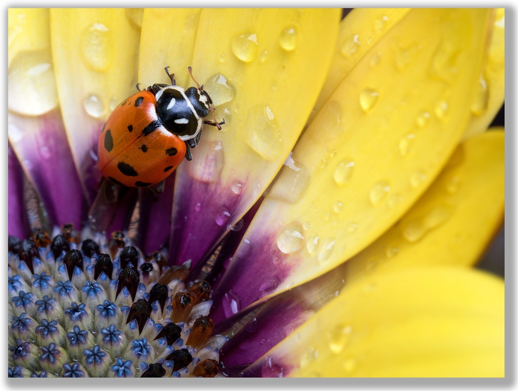 Photograph of a Ladybug sipping a rain drop on an Osteospermum flower