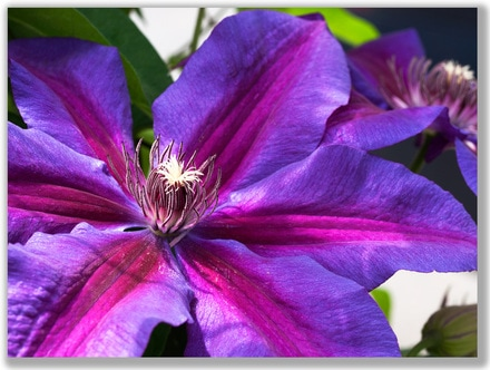 Photograph of Purple Clematis flower