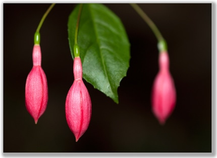 Photograph of three red Fushia flower buds hanging with a leaf