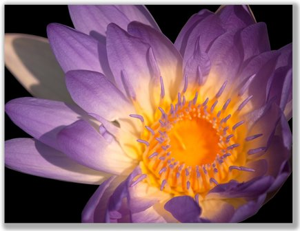 Photograph of a purple Water Lily