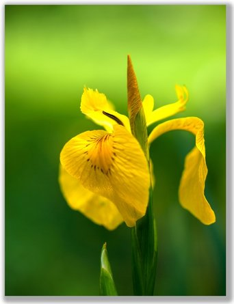 Photograph of a yellow Iris Flower