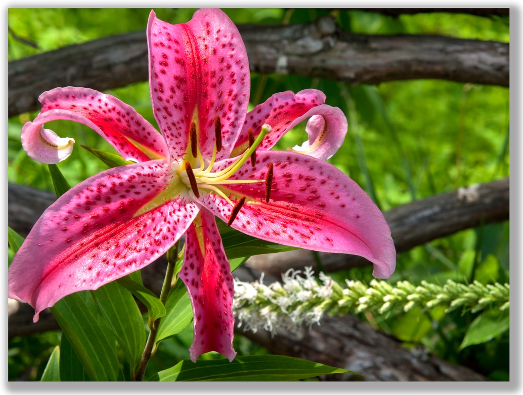 Photograph of a Lily on a rustic wood fence backdrop