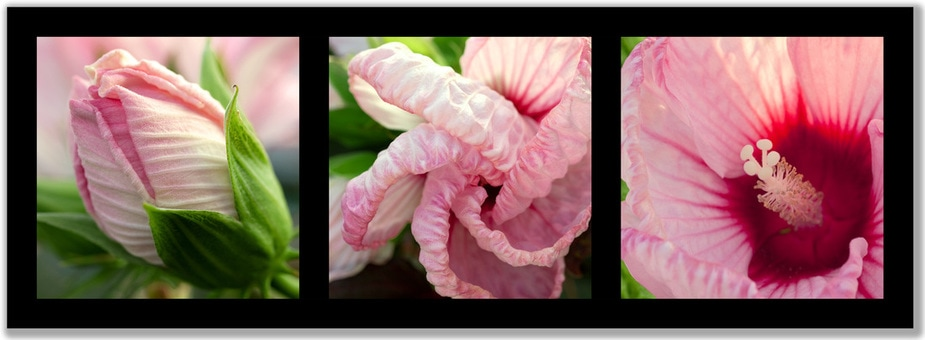 Tryptic photograph of hybiscus in three stages of blooming