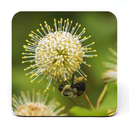 Coaster with a Bumblebee on a buttonbush