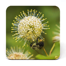 Bumblebee gathering pollen on a buttonbush flower