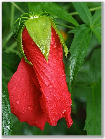 Photograph of a Hibiscus bud with dew drops on it