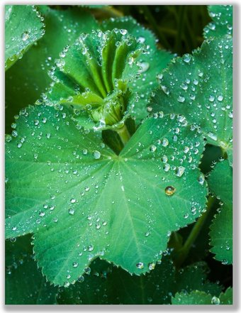 Photograph of Lady's Mantle leaf with rain drops and a single golden drop on it