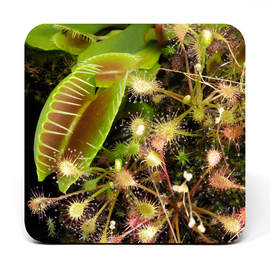 Coaster showing a venus flytrap and sundews