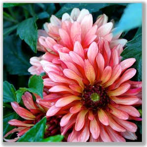 Photograph of a Dahlia flower