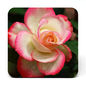 Coaster showing a white rose with pink tips