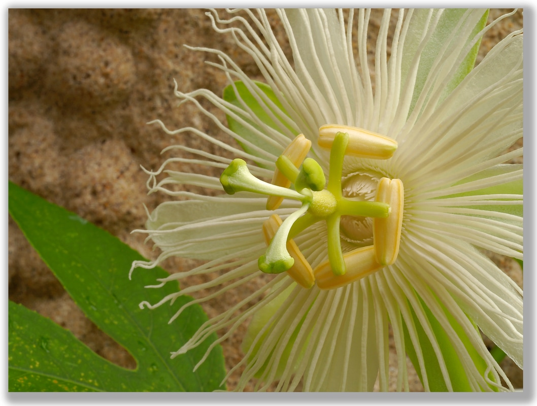 Photograph of a white Passion Flower